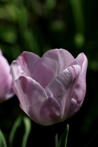Tulipes-Candy-Prince5.jpg0590.JPG