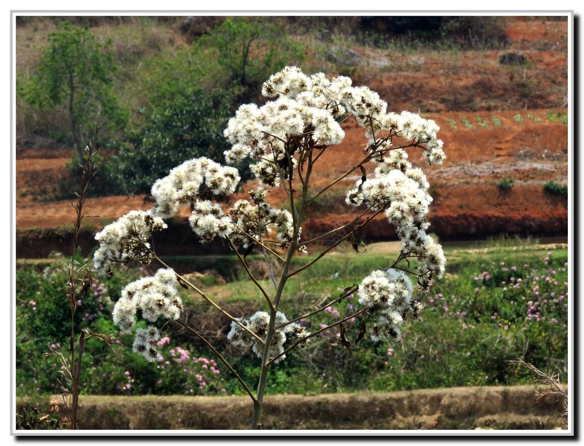 FLEURS JAUNE ET BLANC MADAGASCAR 2016