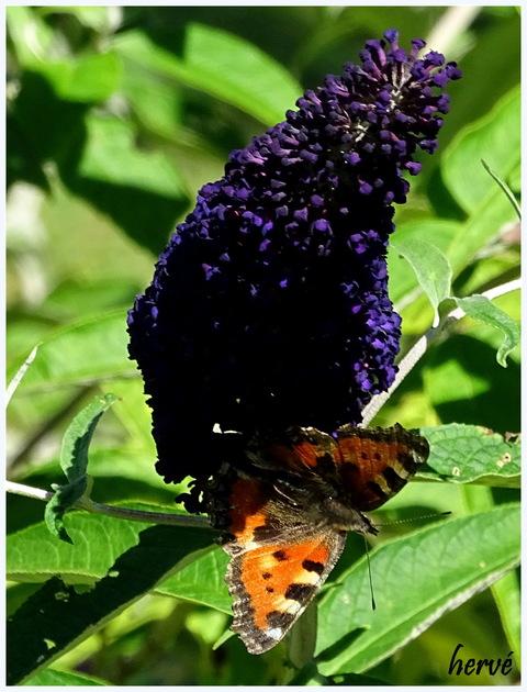 Sur notre arbre à papillon.