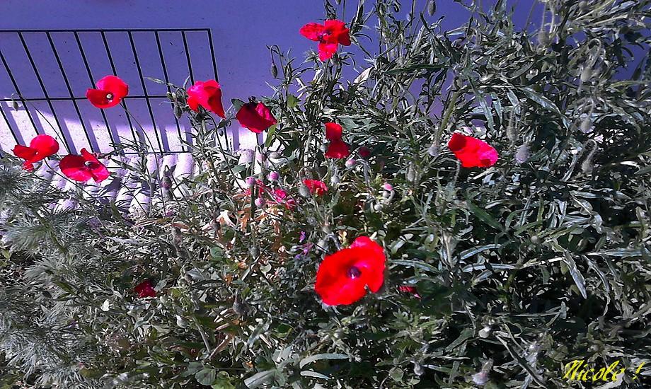 Le myosotis et puis la Rose ...