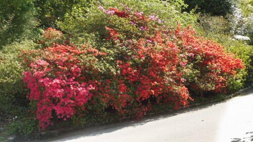 Saison des Rhodos au Vallon