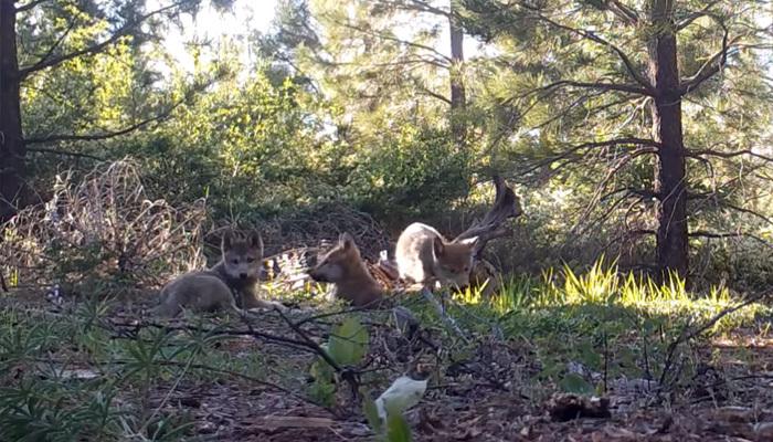 La dernière meute de loups gris de Californie vient de surprendre tout le monde en accueillant 3 nouveaux louveteaux