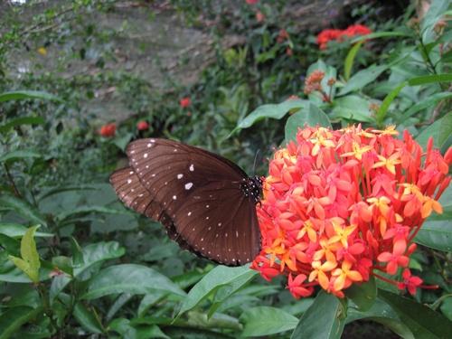 Papillons de Bali 4