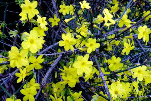 Le jasmin dans mon jardin