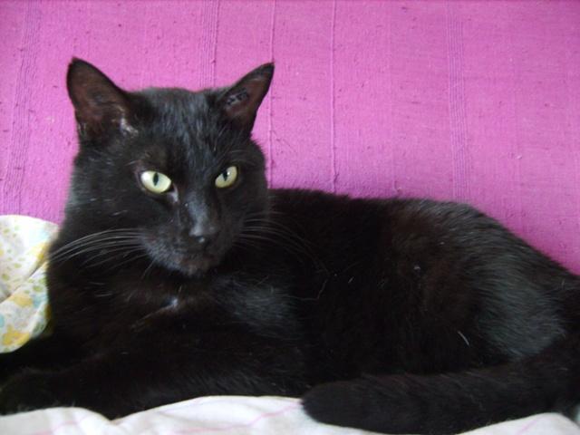 le chat europ en noir mamykool. Black Bedroom Furniture Sets. Home Design Ideas