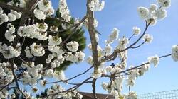 cerisier de printemps