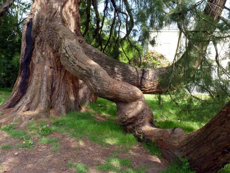 Séquoia de Carquefou