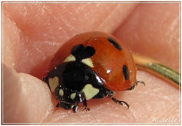 Coccinelle--7-points.jpg