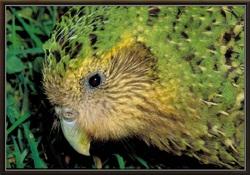 Le Kakapo