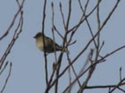 Chardonnerets sauf le dernier oiseau qui n'en est pas un