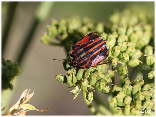 Insectes-2-1281-le-graphosome-italien.jpg