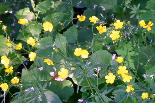 Les fleurs jaunes de la renoncule