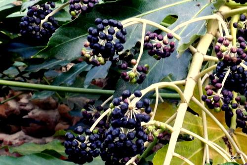 Curieux fruits noirs !