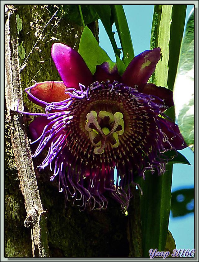 Blog de images-du-pays-des-ours : Images du Pays des Ours (et d'ailleurs ...), Fleur de passiflore - Manuel Antonio - Quepos - Costa Rica