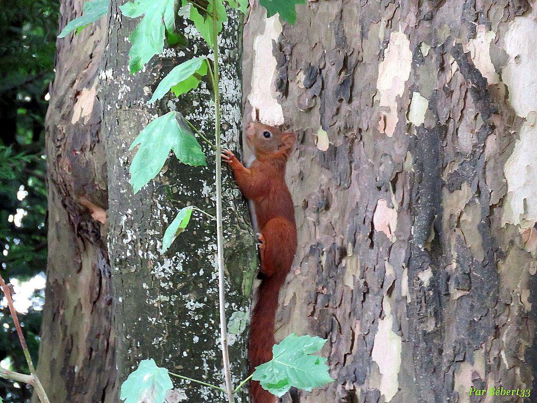 un écureuil vu Arc en Barrois