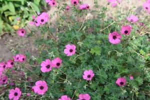 geranium   subcaulescens 'Splendens