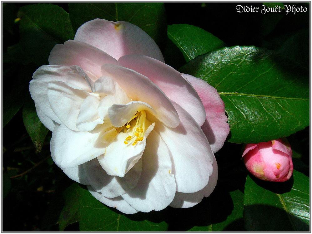 Camélia / Camellia