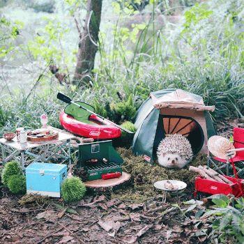 (-*♥*-)  Un petit hérisson part camper et ses photos sont ce que vous verrez de mieux aujourd'hui.