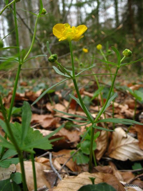 Renoncule tête d'or (Ranunculus auricomus) Ranunculaceae