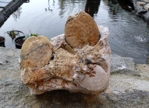 Hemipneustes striatoradiatus (Oursin)