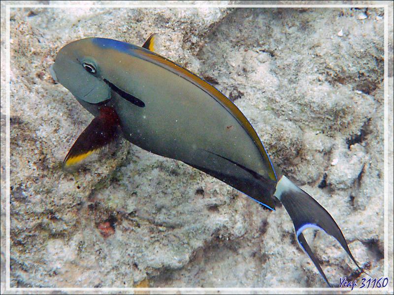Chirurgien à marque noireou à épaulette ou à virgule noire ou à queue blanche, Blackstreak or Black-barred or Shoulderbar surgeonfish (Acanthurus nigricauda) - Moofushi - Atoll d'Ari - Maldives
