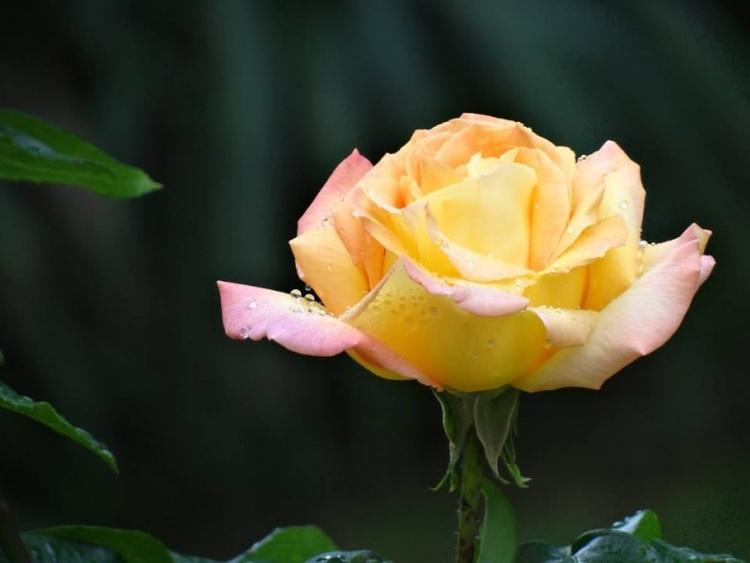 Mignonne Alonns voir si la Rose