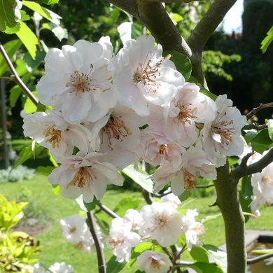 Voici le mois de mai où les fleurs volent au vent...