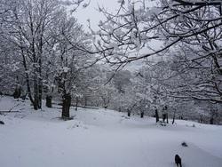 Châtaigniers sous la neige