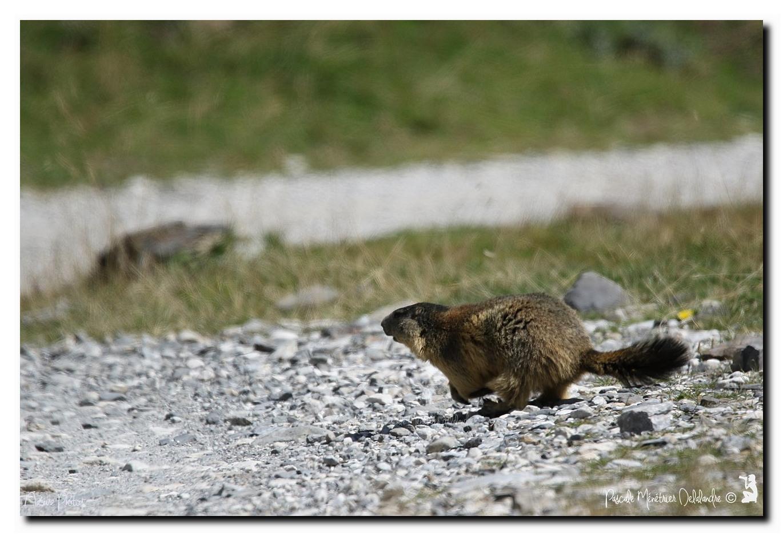 La course de la Marmotte