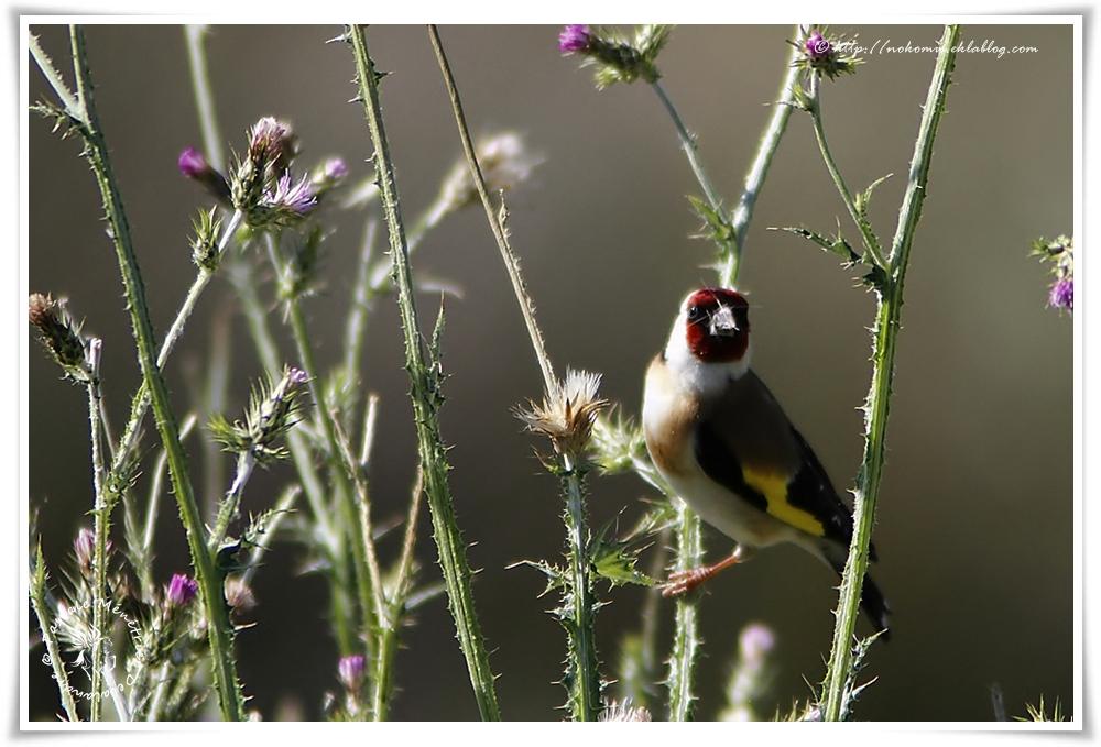 Chardonneret élégant - Carduelis carduelis - European Goldfinch