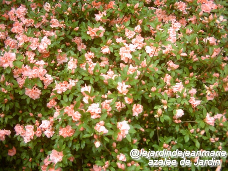 Cerastiums;Saponaire,azalée de jardin;de belles photos,Jean Marie en vacances mais de retour bientôt
