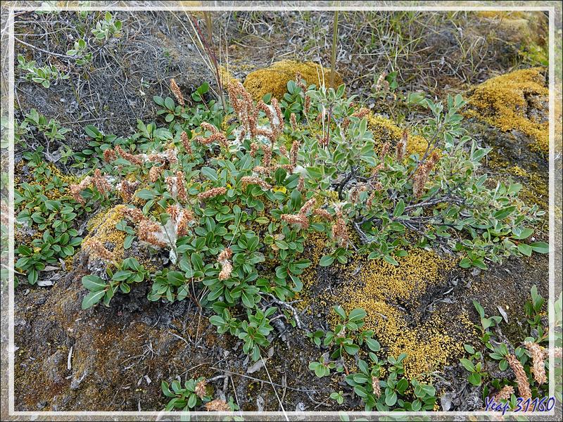 Un peu de botanique : Saule arctique, Épilobe à feuilles larges + bouleau nain, Thé du Labrador, Myrtilles - Ferguson Lake ou Tasersuatsiaq - Kangerlussuaq - Groenland