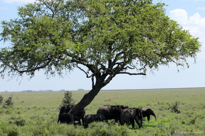 Les éléphants du Sérengeti