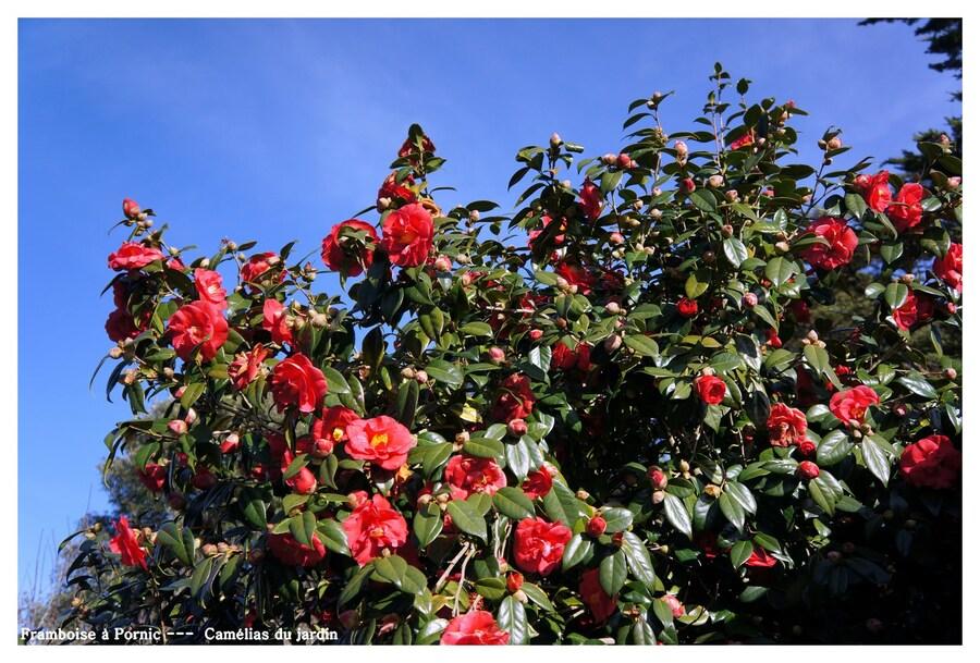 Camélias du jardin