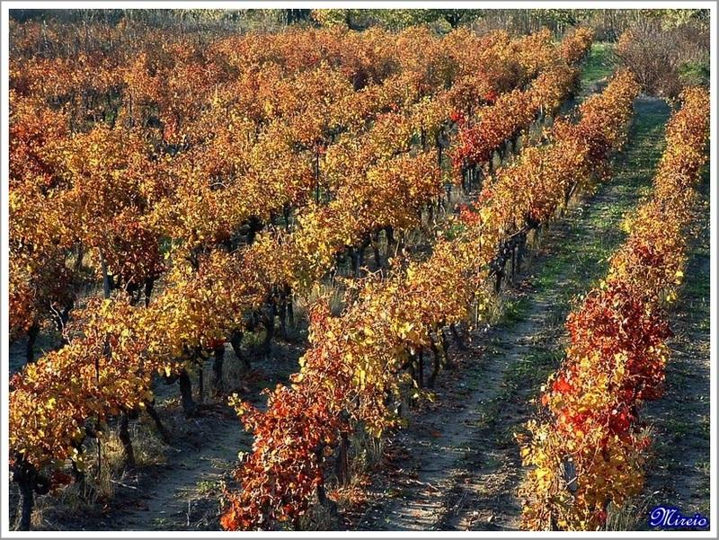 Vignes Rousses...
