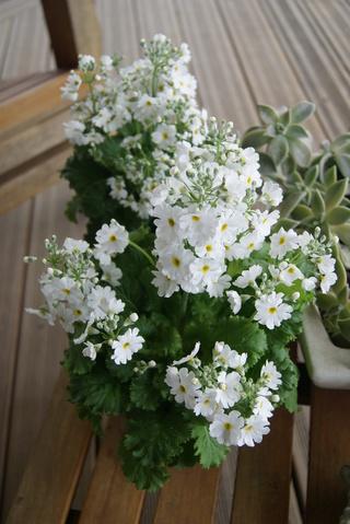 Primula malacoides, primevère à petite fleur.