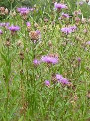 Centaurée jacée fleurs