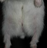 glande hamster nain