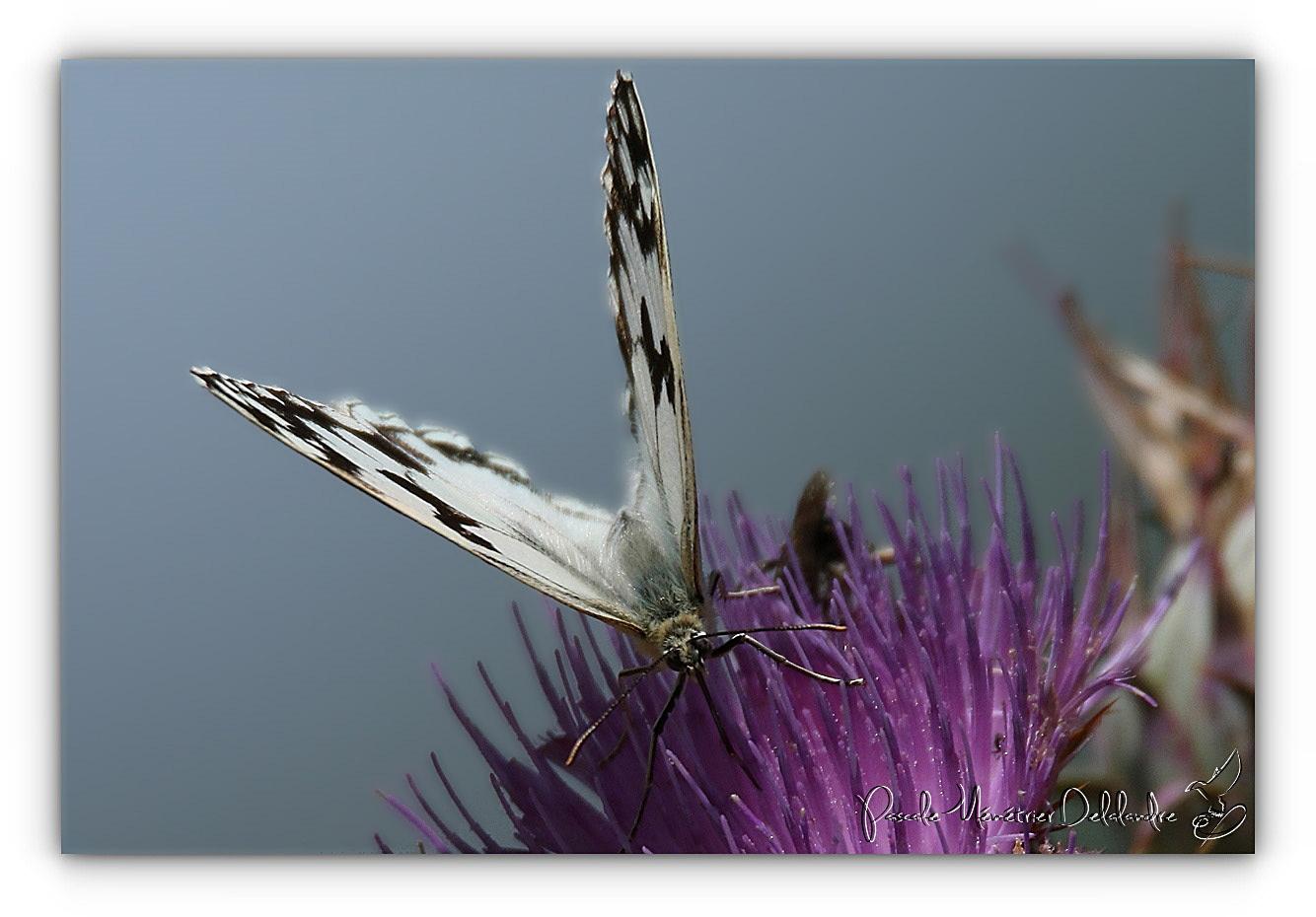 Dans la famille Nymphalidae