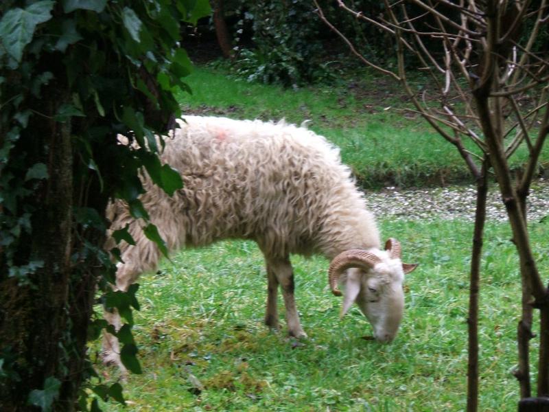 Monsieur-Mouton-venu-déjeuner-dans-notre-jardin (4)