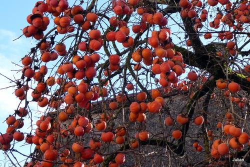 Le plaqueminier chargé de fruits !