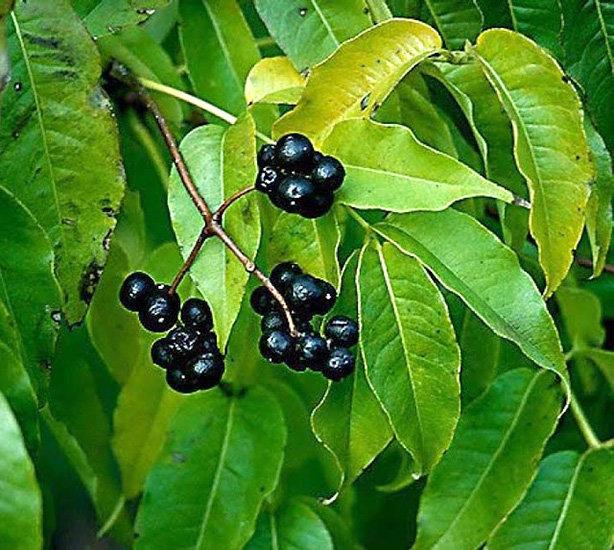 Плоды амурского бархата при сахарном диабете