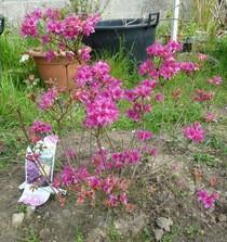 azalée japonica 'amoena'