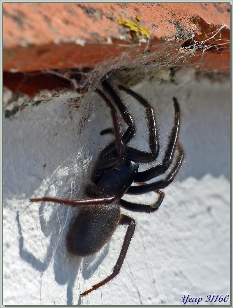 Araignée Ségestrie florentine (Segestria florentina) - La Couarde-sur-Mer - Île de Ré - 17