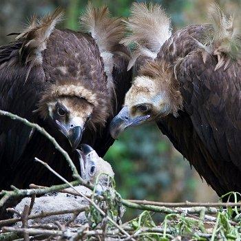 deux vautours et leur bébé.