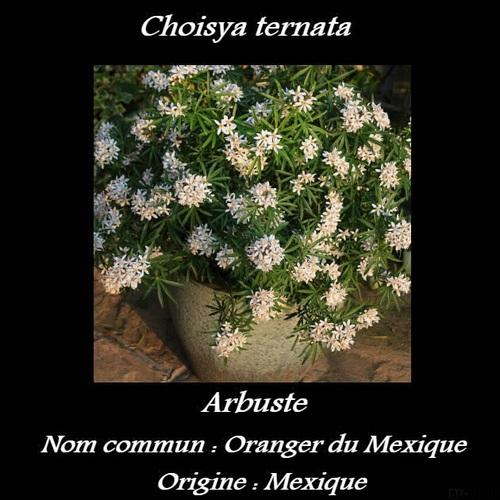 Choisya ternata