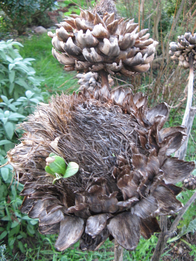 Artichauts et plantules 18-12-2015 Keriadenn
