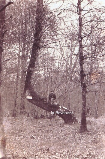 Les arbres remarquables de la Forêt de Crécy-en-Ponthieu