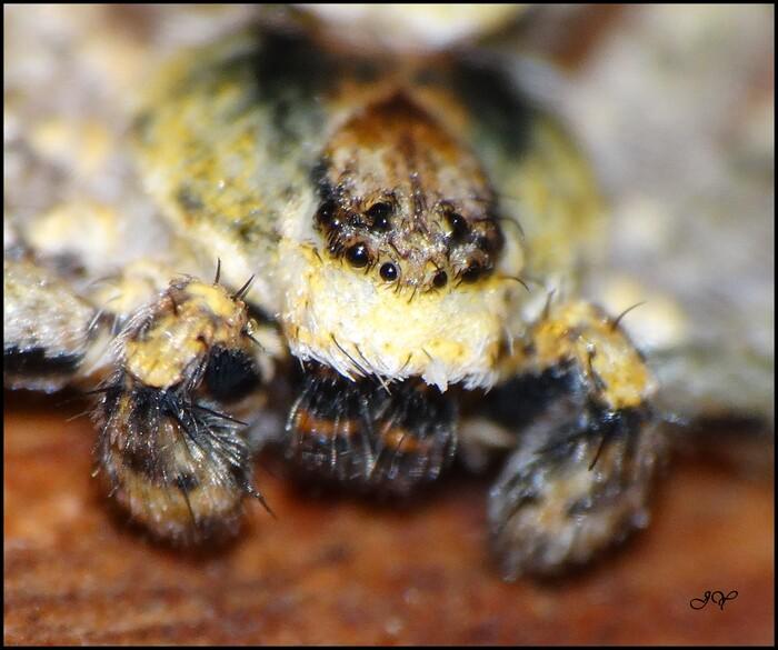 Philodromus margaritatus.