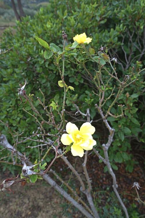 Roses tardives
